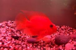 Papagaio vermelho Foto de Stock Royalty Free