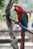Papagaio vermelho colorido na filial Fotos de Stock Royalty Free