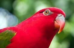 Papagaio vermelho com asas verdes Imagem de Stock