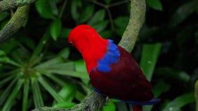 Papagaio vermelho de Eclectus video estoque