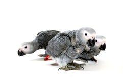 Papagaio vermelho do conto no branco fotos de stock royalty free