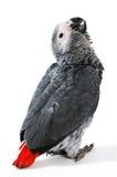 Papagaio vermelho do conto no branco imagem de stock royalty free