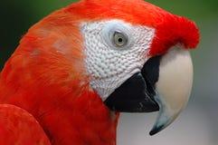 Papagaio vermelho do Macaw Fotografia de Stock