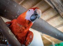 Papagaio vermelho em uma cerca Curacao Views fotografia de stock royalty free