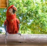 Papagaio vermelho em uma cerca Curacao Views imagem de stock royalty free