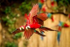 Papagaio vermelho em voo Voo da arara, vegetação verde no fundo Arara vermelha e verde na floresta tropical imagem de stock