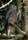 Papagaio vermelho (milvus de Milvus) Fotografia de Stock Royalty Free