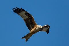 Papagaio vermelho (milvus de Milvus) Imagem de Stock Royalty Free