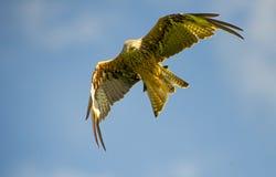 Papagaio vermelho (milvus) do milvus 14 Fotografia de Stock
