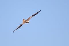 Papagaio vermelho no vôo Fotos de Stock Royalty Free