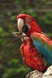 Papagaio vermelho que come em um ramo Fotografia de Stock Royalty Free