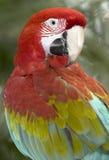 Papagaio voado vermelho e verde ou verde 1 do pássaro do macaw Fotografia de Stock