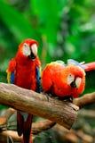 Papagaios Imagem de Stock