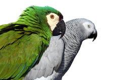 Papagaios Fotos de Stock