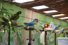 Papagaios Imagens de Stock Royalty Free