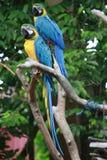 Papagaios Foto de Stock