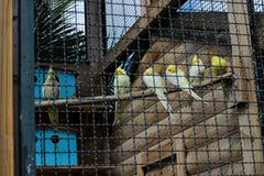 Papagaios amarelos que dormem no ramo Imagem de Stock Royalty Free