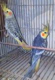 Papagaios azuis dos Cockatiels Fotografia de Stock