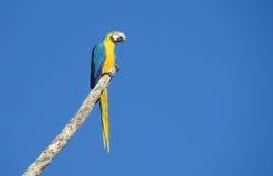 Papagaios azuis e amarelos das aros no ramo de árvore Foto de Stock Royalty Free