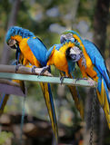 Papagaios bonitos da arara Foto de Stock