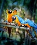 Papagaios bonitos da arara Fotos de Stock