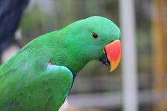 Papagaios, cacatua Imagens de Stock