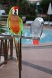 Papagaios coloridos e cinzentos Fotografia de Stock Royalty Free