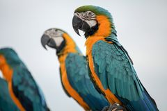 Papagaios da arara Imagens de Stock Royalty Free