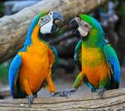 Papagaios da arara Foto de Stock Royalty Free