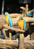 Papagaios da arara Fotografia de Stock