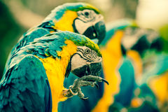 Papagaios da arara que sentam-se em uma fileira Imagem de Stock