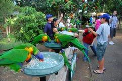 Papagaios de alimentação em Austrália Imagem de Stock
