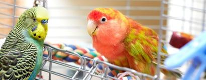 Papagaios de Budgie e de periquito foto de stock