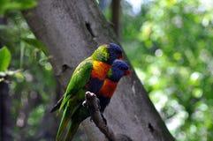 Papagaios de Lori Foto de Stock