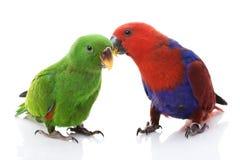Papagaios de Solomon Island Eclectus Imagens de Stock Royalty Free