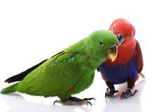 Papagaios de Solomon Island Eclectus foto de stock