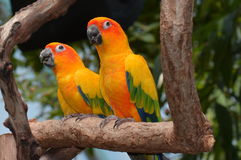 Papagaios de Sun Conure Fotografia de Stock Royalty Free