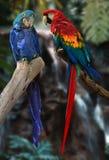Papagaios do Macaw Fotos de Stock