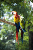 Papagaios do Macaw Fotografia de Stock Royalty Free