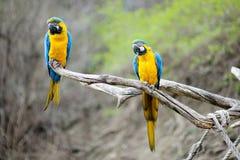 Papagaios do macaw do azul e do ouro imagem de stock royalty free