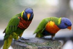 Papagaios exóticos Imagens de Stock