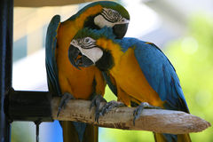 Papagaios exóticos Fotografia de Stock