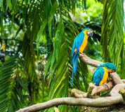 Papagaios exóticos Fotografia de Stock Royalty Free
