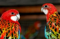 Papagaios faladores Fotografia de Stock Royalty Free