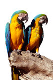 Papagaios isolados Fotografia de Stock
