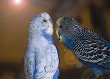 Papagaios no amor fotografia de stock royalty free