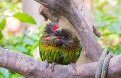 Papagaios no amor Fotografia de Stock