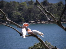 Papagaios no amor Foto de Stock