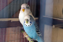 Papagaios ondulados Foto de Stock