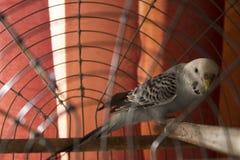 Papagaios ondulados Imagens de Stock